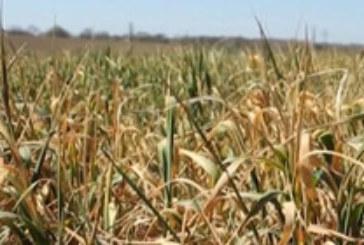 30% по-ниски добиви на зърно, отчитат земеделците