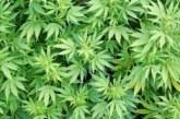 Разследват кюстендилец за ниви с марихуана
