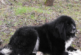 Откриха мъртво овчарско куче в Осеново