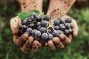 Винаги мийте внимателно гроздето, за да не навредите на здравето си