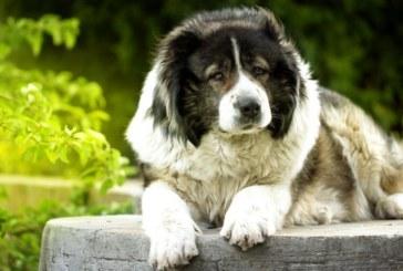 Вярно куче измина 60 километра, за да се върне у дома