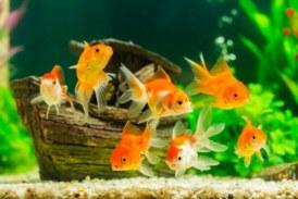 Защо рибите плуват в група