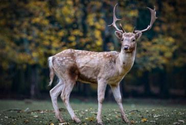 Четири елена лопатари в Пернишко заразени със син език, обявиха от БАБХ