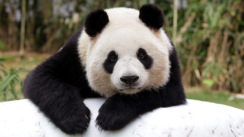 Канадски зоопарк върна пандите си на Китай заради недостиг на бамбук