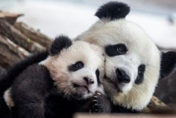 Бебе гигантска панда с медиен дебют в Тайван