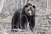 Почина 34-г. мечок Стефан, първият обитател на парка в Белица