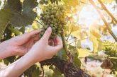 Специален фонд ще помага на лозарите и винарите